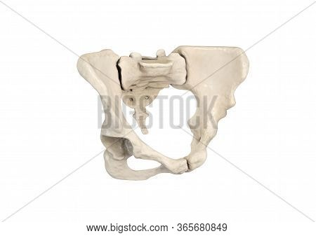 Pelvis, Human Skeleton, Female Pelvic Bone Anatomy, Hip, 3d Artwork, Bones Anatomy View, White Backg