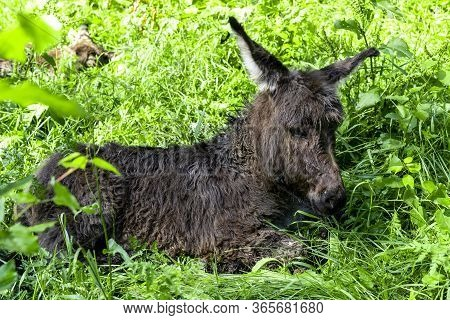 Just Born Little Donkey. Just Born Little Donkey Lying In A Pasture