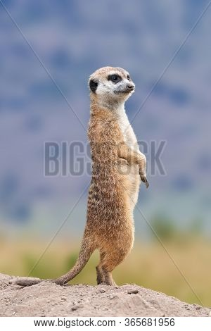 Meerkat Standing Looking For Something.  Suricata Suricatta Wild Predators In Natural Environment. W