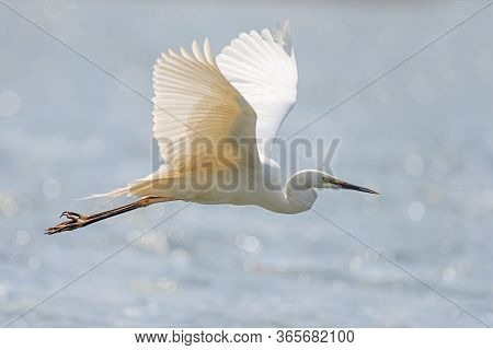 White Heron, Great Egret, Fly On The Lake Background. Water Bird In The Nature Habitat. Wildlife Sce