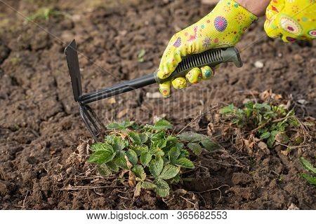 Hand Female Of Gardener With Hoe Tool Loosens Ground Around Bush Of Strawberry In Garden In Spring C