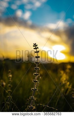 Autiful Sunset Behind A Dry Flower Branch With The Sun Rays Passing Through The Clouds