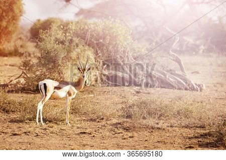 Thomsons Gazelle Or Tommie Subspecies Of The Red-fronted Stand On The Pasture In Kenya