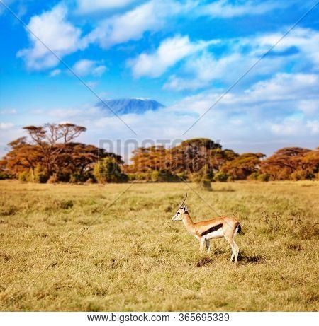Kilimanjaro And Thomsons Gazelle Or Tommie Stand On The Pasture In Kenya Over