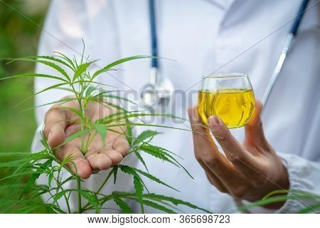 Doctor Is Researching Hemp Oil. Cannabis Herb Research, Medical Marijuana, Cbd Hemp Oil Research.