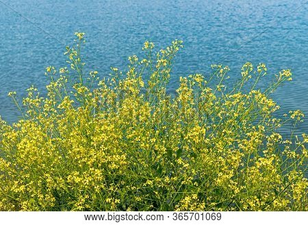 Yellow Brassica Napus Flowers In Bloom On The Lakeshore On A Sunny Day.