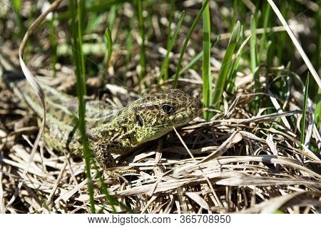 Lizard Standing In Grass In A Sunny Day, Under A Hard Sun. Quick Lizard, Or Common Lizard (lat.lacer