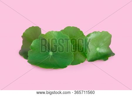 Closeup Leaf Of Gotu Kola, Asiatic Pennywort, Indian Pennywort On Pink Background, Herb And Medical