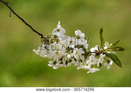 Cherry Blossom On Branch Close-up Over Blurred Grass