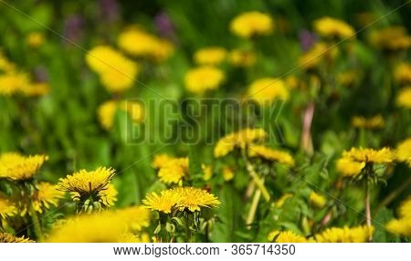Meadow With Yellow Dandelions Close-up. Backdrop Concept