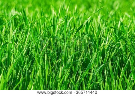 Fresh Spring Grass On The Field - Background