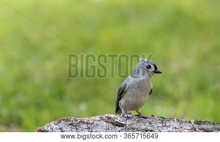 Tufted Titmouse, Baeolophus Bicolor, Perched On Tree Stump In Late Afternoon Green Grass Background