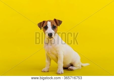 A Puppy Sits On A Yellow Background And Looks At The Camera. A Trained Little Dog Executes A Sit Com