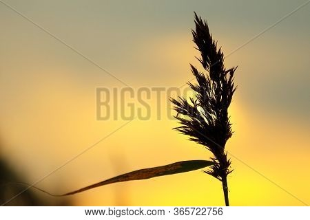 A Dry Blade Of Grass Against The Background Of Yellow Dawn. The Silhouette Of A Blade Of Grass With
