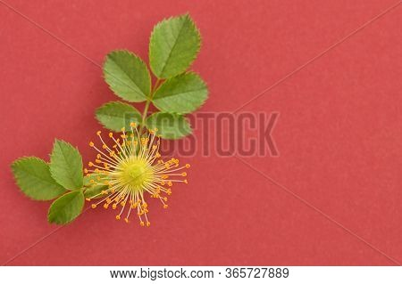 Pink Wild Rose Flowers (rosa Canina) On Red Background