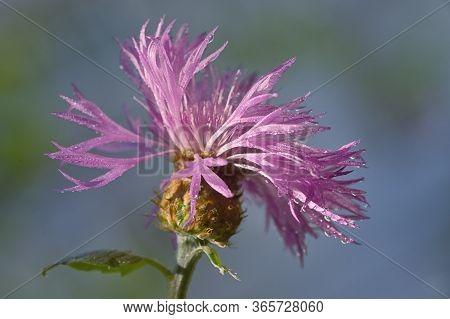 Thistle Closeup On Spring Field After Rain