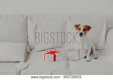 Jack Russell Terrier Dog Sits On White Soft Sofa Near Gift Box. Pedigree Dog In Domestic Atmosphere
