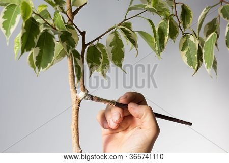Woman Hand Putting Special Powder Rootin To Make Roots On Removed Part Bark Of Ficus Stem To Produce