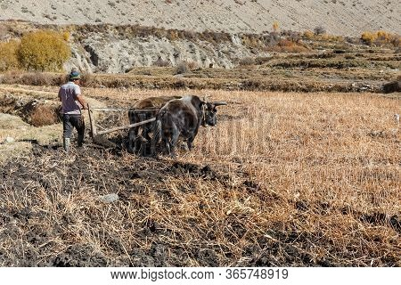 Kagbeni, Mustang District, Nepal - November 19, 2016: Nepalese Man Plows His Field With Bulls. Kagbe