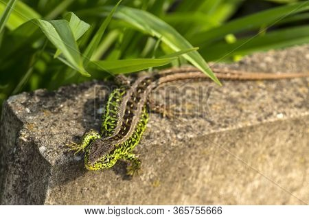 Spring, The Month Of May. Sand Lizard, Male In Mating Robe.