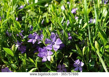 Vinca Flowers Growing In The Forest. Periwinkle (vinca Minor, Lesser Periwinkle, Small Common Periwi