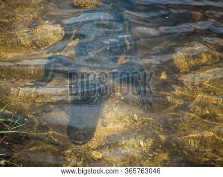 Adult Alligator Luring Under Clear Water In Everglades National Park. Closeup Of Wild Reptile With H