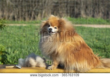 Grooming, Haircut, Combing Wool Of Beautiful Happy Pomeranian Spitz Dog. Fluffy Little Puppy, Animal