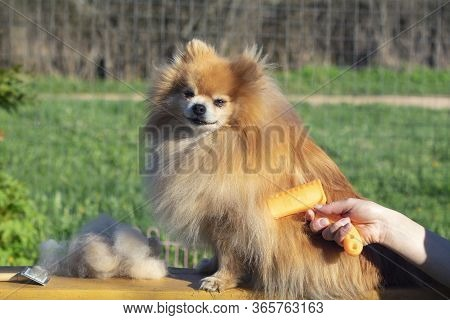 Hand Doing Grooming, Haircut, Combing Wool Of Beautiful Happy Pomeranian Spitz Dog. Fluffy Little Pu