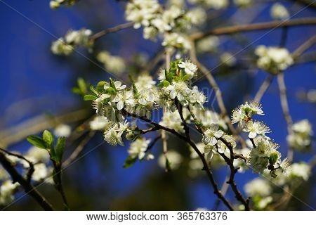 Prunus Domestica Blossom Under A Blue Sky In April