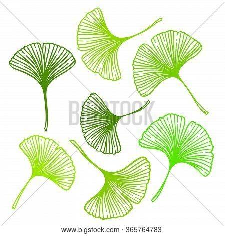 Ginkgo Or Gingko Biloba Leaves Set. Nature Botanical Vector Illustration, Herbal Medicine Graphic In