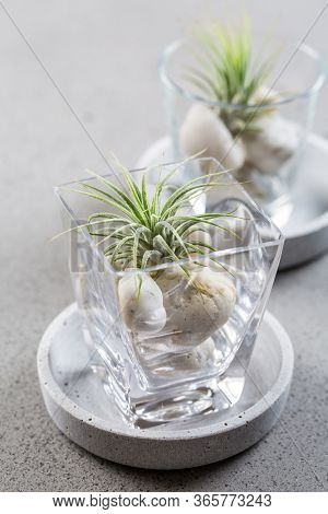 Home table decoration with Tillandsia air plants