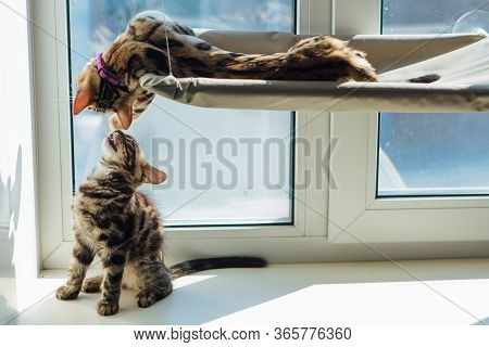 Two Cute Bengal Kittens Gold And Chorocoal Color Laying On The Cats Window Bed And Windowsill Relaxi