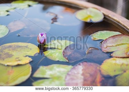 Close Up Beautiful Lotus Flower Is The Symbol Of Buddha, Buddhist Holy Day Concept.