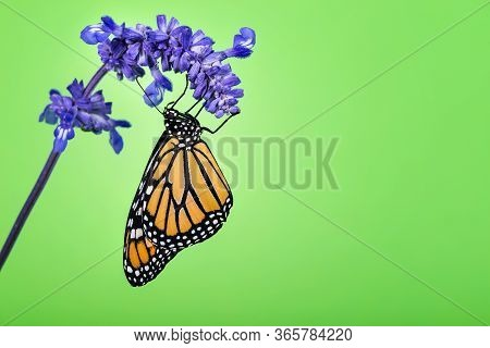 Newly Emerged Monarch Butterfly (danaus Plexippus) On Blue Salvia Flower. Green Background With Copy