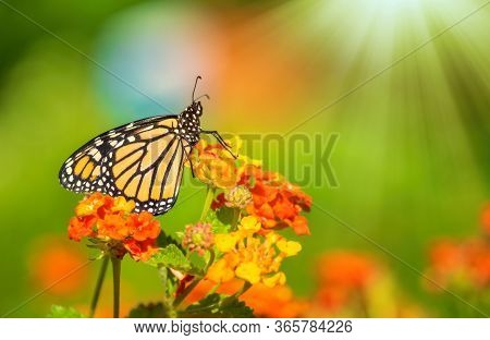 Monarch Butterfly (danaus Plexippus) Basking On Lantana Flowers During The Spring Migration In Texas