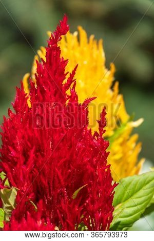 Red And Yellow Plumed Cockscomb, Celosia Argentea. Colorful Celosia Argentea On The Garden, Natural