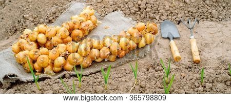 Banner A Bunch Of Onion Bulbs With Shovel On It And Carried Out For Planting , Cleaned And Prepared