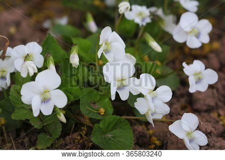 White Violet Odorata. Blooming Violet With White Petals