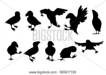 Black Silhouette Set Of Atlantic Puffin Bird In Different Poses Cartoon Animal Design Flat Vector Il