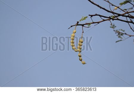 Babul Tree Pods Or Vachellia Nilotica  With Copy Space, Also Known As Gum Arabic Tree, Thorn Mimosa,