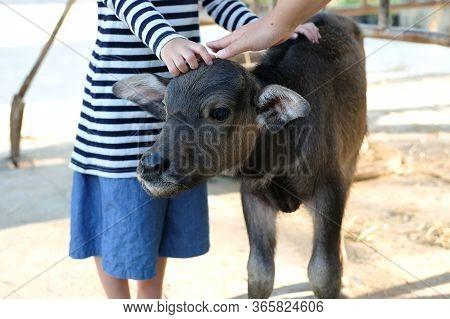 Calf, Baby Buffalo Animal, Hands Rub On The Head Of A Baby Buffalo In The Farm. Farm Activity For Ki