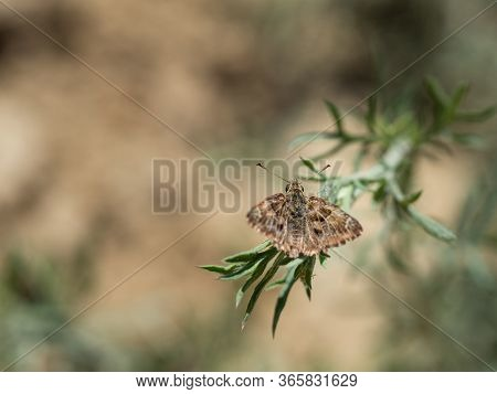 Mallow Skipper (carcharodus Alceae) Butterfly Of Family Hesperiidae Sitting On Green Plant On Hot Su