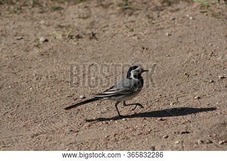 Ornithology, Motacilla Alba, Standing, Motacilla, Migratory, Portrait, Spring, White Wagtail, Bird,