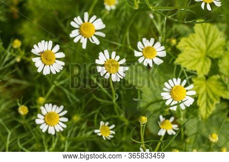 Flower Of Chamomile In The Garden With Blurred Same Flowers In The Background. Top View. Shallow Dep