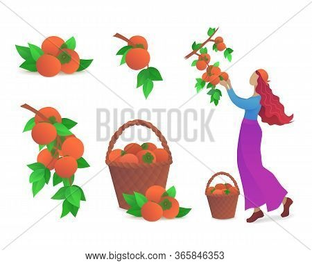 Persimmon Fruits Growing Icons Set. Fresh Persimmons With Green Leaves, Girl Picking Ripe Persimmons