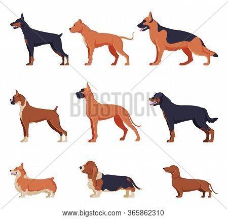 Purebred Dogs Collection, Doberman, American Bandog, German Shepherd, Boxer, Rottweiler, Welsh Corgi