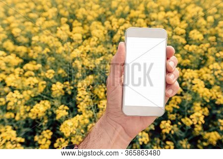 Agronomist With Smartphone Mock Up Screen In Oilseed Rape Field, Close Up Of Male Hand Holding Mobil