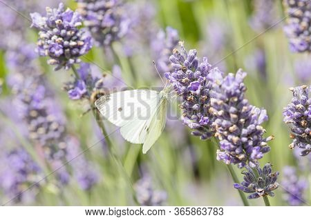 Insect Pollination Closeup. Cabbage White Butterfly Pollinating A Lavender Plant (lavandula Angustif