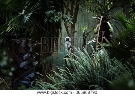 Cotton-top Tamarin Monkey, Small New World Monkey, Standing Among Lush Tropic Plants And Trees
