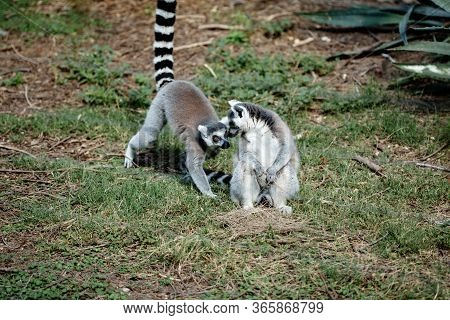 Couple Of Ring-tailed Lemurs Communicating Each Other Sitting On Grass Close-up